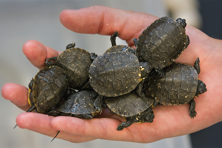 Small turtles are held in the palm of a hand.