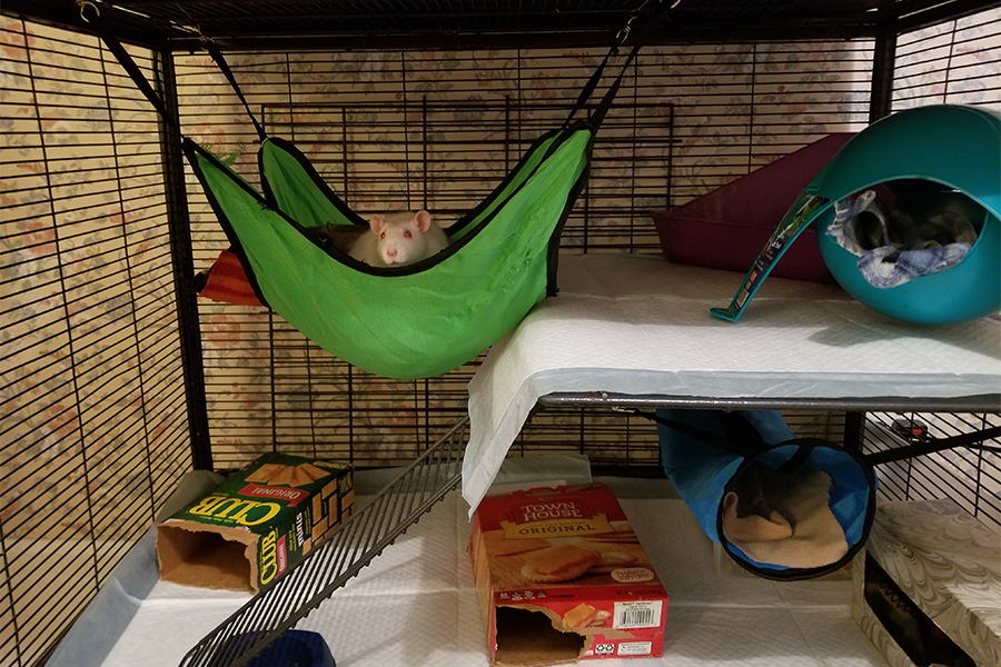 White rat chills in a hammock.