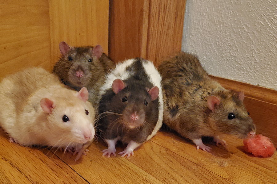 Rats find a new home.